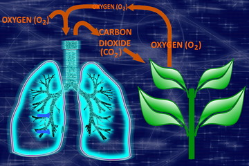 glowing human lungs-Oxygen-Carbon Dioxide Cycle