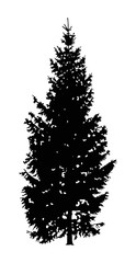 Silhouette of coniferous.