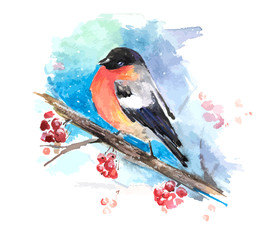 Bullfinch on the branch of mountain ash. Watercolor vector
