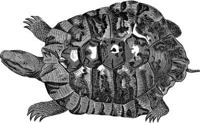Vintage image turtle