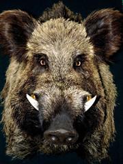 Male wild boar portrait