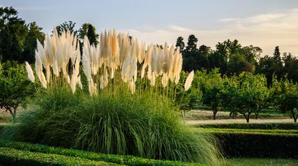 Pampas grass (Cortaderia selloana or gimnerio) in HDR.  Prince's garden of Aranjuez, World Heritage (UNESCO)