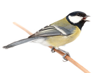 Great Tit (Parus major) isolated