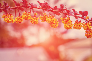 beautiful spring background. Branches barberry with sunshine small depth of field. use as background. backlight. soft selective focus. vintage style