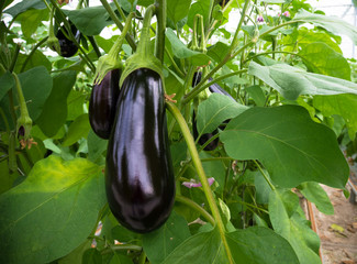 eggplant in a greenhouse