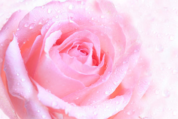 Floral wallpaper, beautiful pink rose with drops