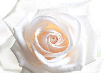 Beautiful white rose with drops, Floral wallpaper with soft light effect