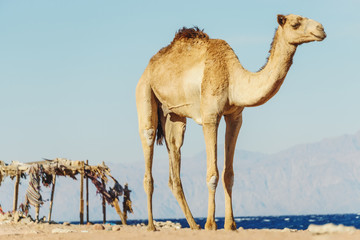 Desert landscape with camel next to Red Sea.