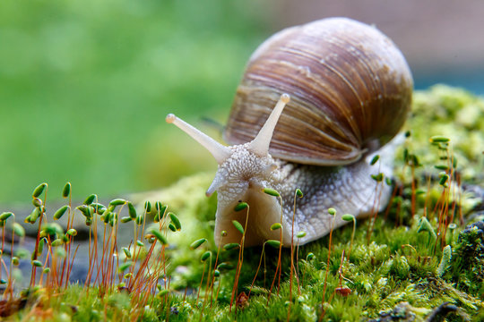 Burgundy snail (Helix, Roman snail, edible snail, escargot)  on the surface of old stump with moss in a natural environment. Green moss and mold growing on the old tree trunk. macro.