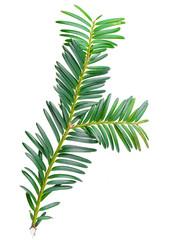 yew twig isolated on white background
