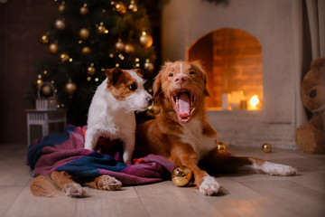 Dog Jack Russell Terrier and Dog Nova Scotia Duck Tolling Retriever . Christmas season 2017, new year