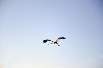 cigüeña volando