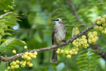 Beautiful bird , Yellow-vented bulbul (Pycnonotus goiavier)