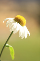 A beautiful single white and yellow flower with a blurred green background.