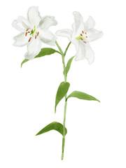 白いユリの花 水彩イラスト