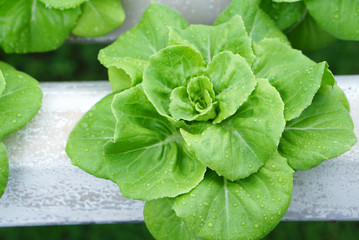 sprout in Hydroponics farm