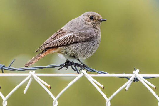 The sparrow on barbed wire
