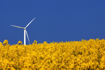 Agricultural landscape. Windturbine and rapeseed field.