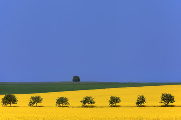 Agricultural landscape. Rapeseed fields and rowan trees.