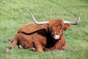 Scottish highland resting in high grass.