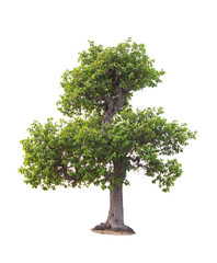 tree in summer isolate on white background