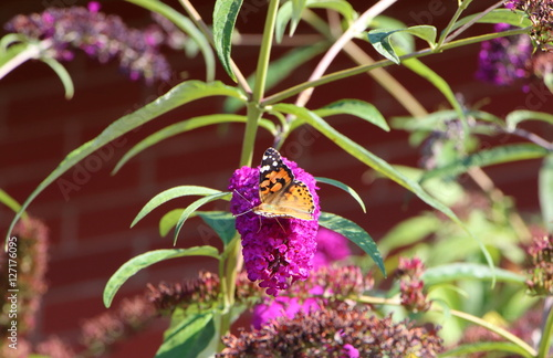papillon belle dame sur fleur de buddleia de david stock photo and royalty free images on fotoliacom pic 127090905