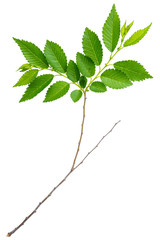 spring twig elm with green leaves isolated on a white background at macro lense shot