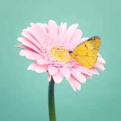 Yellow small butterfly on a  pink daisy flowers on trendy cool mint background