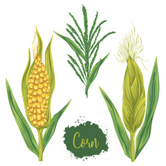 Corn set. Cobs, blossom branch and leaf. Collection decorative design elements. Vintage vector illustration in watercolor style.