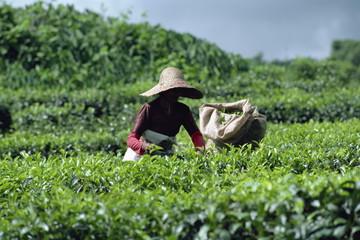 Tea picking, Mauritius, Africa