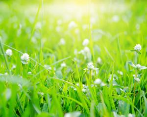 Grass. Fresh green spring grass with dew drops closeup. Sun. Sof