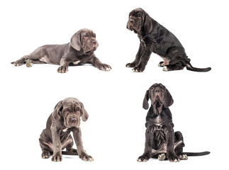 Collection of young puppy italian mastiff cane corso (3 month)