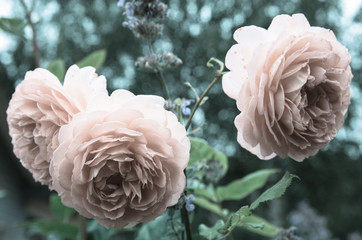 Old english roses, retro style.Toned with color filter and soft noise to get old camera effect. Soft focus and blurred,