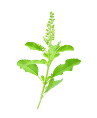 Basil flower on white background
