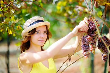 Young beautiful girl picking mellow grape in sunny day in Italy