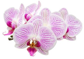 Freigestellte Orchidee Phalaenopsis auf weißem Hintergrund