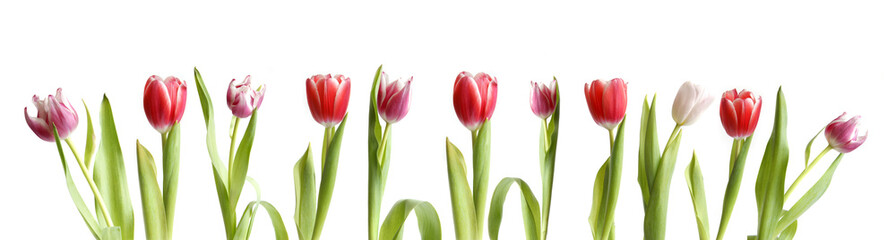 tulip flowers on white background -  border design
