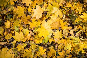 Yellow fallen autumn leaves