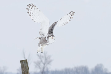 Snowy owl (Bubo scandiacus) takes off from a post in winter in Canada