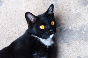 Bombay black cat yellow eye relax on floor