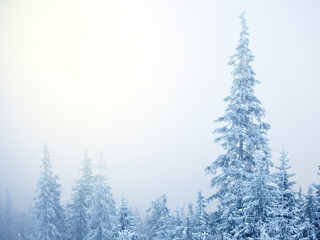 Abstract background of winter fir trees