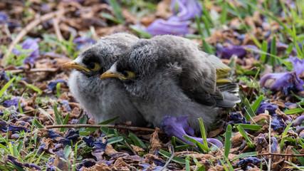 Juvenile Noisy Miner Birds