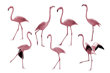 Bird flamingo isolated on white background ,Beautiful bird flamingo , flamingo in lovely moment