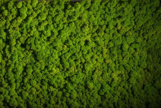 Reindeer moss wall, green wall decoration, lichen Cladonia rangi