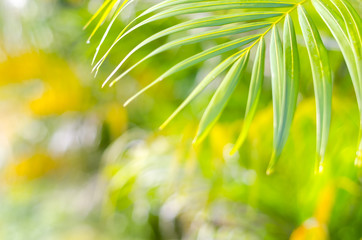 Poster Jaune Natural defocused and depth of field (DOF) effect of palm leaf, the bokeh effect and morning sunlight
