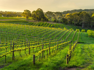 Fototapete - Late light hits a vineyard in spring