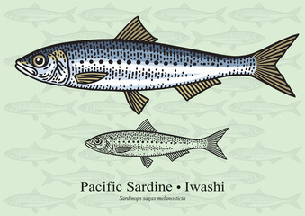 Pacific Sardine. Vector illustration for artwork in small sizes. Suitable for graphic and packaging design, educational examples, web, etc.