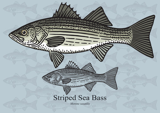 Striped Sea Bass. Vector illustration for artwork in small sizes. Suitable for graphic and packaging design, educational examples, web, etc.