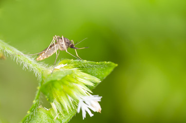 Macro and depth of field (DOF) effect of forest mosquito - Mosquito resting on green leaf