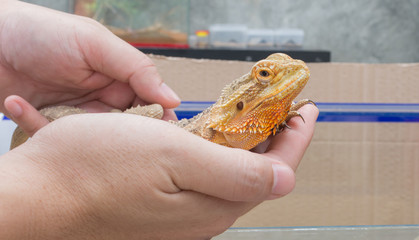hand hold yellow Bearded Dragon .